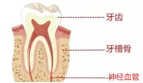 牙齿结构图解