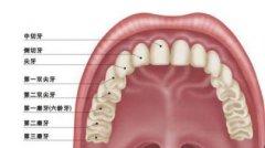尖牙和虎牙是不是一样的,有没有什么区别