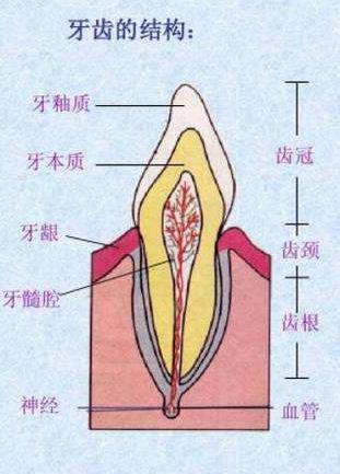 牙神经的位置