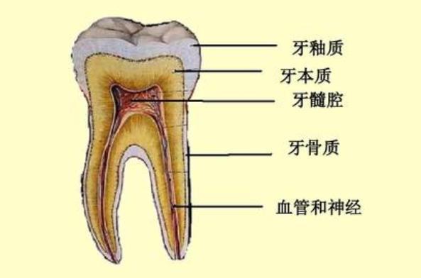 牙齿解剖图