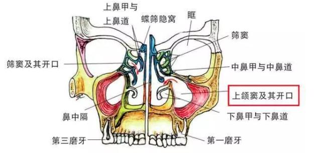 上颌窦位置