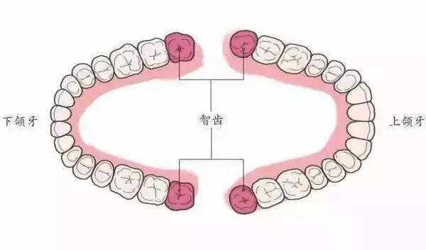 牙列尽头的牙齿就是智齿
