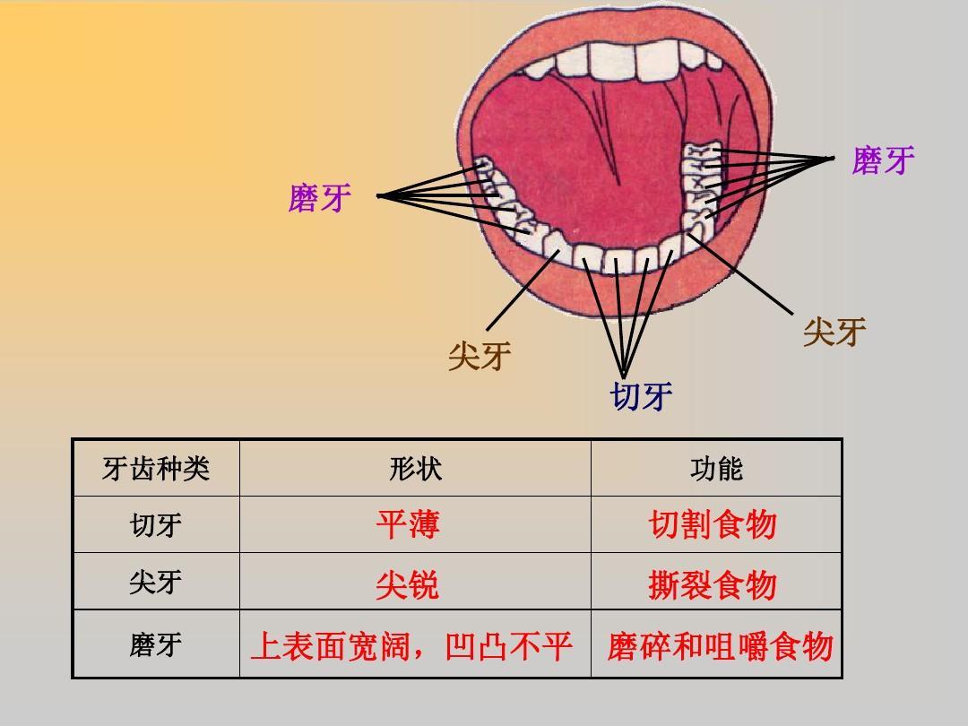 牙齿功能和作用