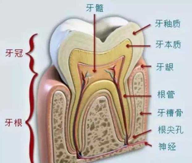 牙齿剖面图