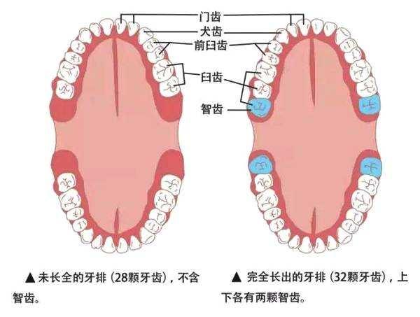 智齿长出的位置和数量